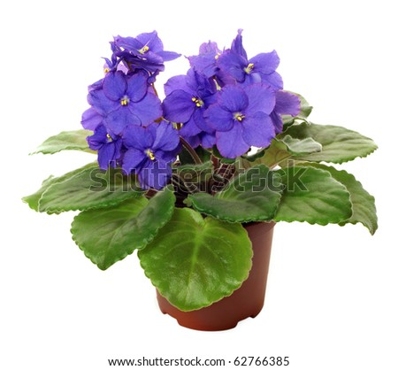 violet saintpaulia on white background - stock photo