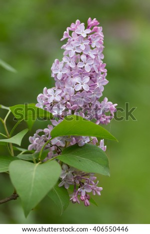 Violet, spring flowers of lilac (Syringa vulgaris) on green blurred background - stock photo