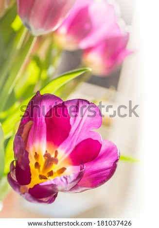 Violet spring tulips in bright daylight