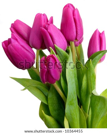 Violet spring tulips on white background - stock photo