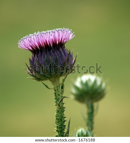 Violet thistle - stock photo
