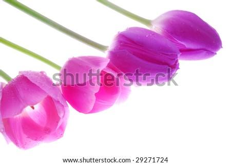 violet Tulips - stock photo