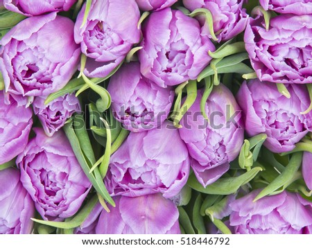 Violet Tulips flower, beautiful background