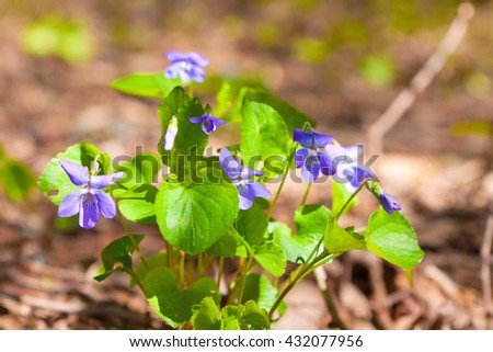 Violet wild flowers on a sunny day, close-up - stock photo