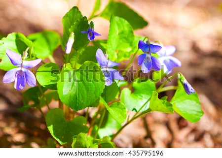 Violet wild flowers on a sunny day, close-up photo - stock photo
