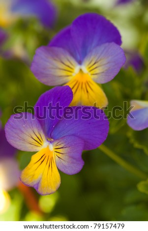 Violet yellow pansies in green nature - stock photo