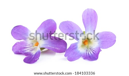 Violets flowers, isolated on white - stock photo