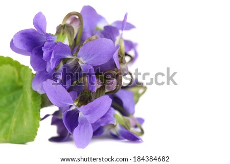Violets flowers, isolated on white