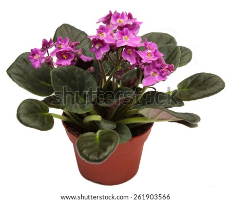 Violets. Home indoor plant in flowerpot isolated on white background. - stock photo