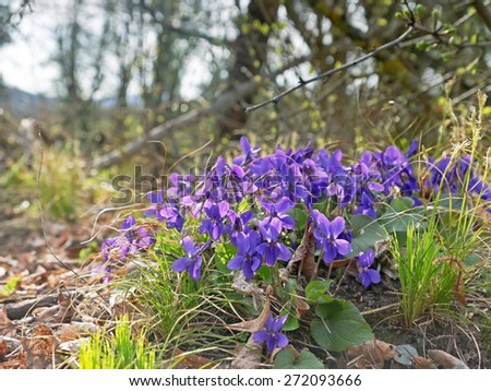 Violets in a forest.