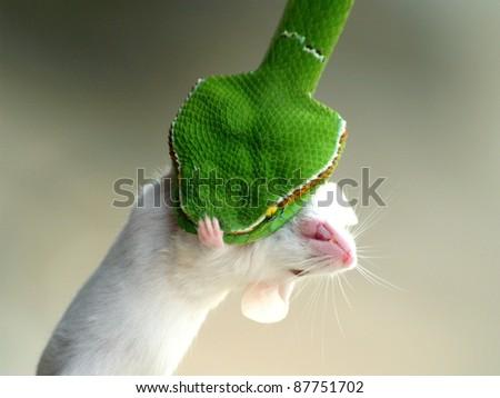 Viper eating white rat - stock photo
