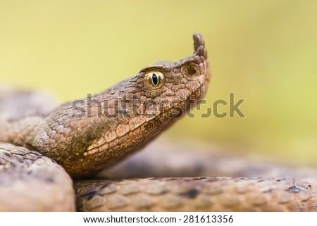 Vipera ammodytes ammodytes - Western nose-horned viper, portrait - stock photo