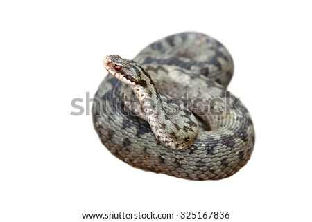 vipera berus ready to strike isolated  over white background