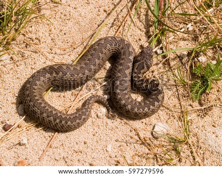 https://thumb9.shutterstock.com/display_pic_with_logo/171145408/597279596/stock-photo-vipera-ursinii-macrops-meadow-viper-ursini-s-viper-meadow-adder-597279596.jpg