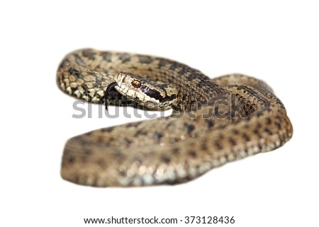 Vipera ursinii rakosiensis ready to strike isolated over white background; this is a male of hungarian meadow adder, the most endangered specie of snake in Europe