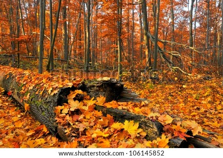Virgin forest in autumn. Poland. - stock photo