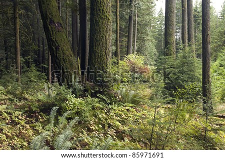 Virgin primeval forest with high trees and mossed ground - stock photo