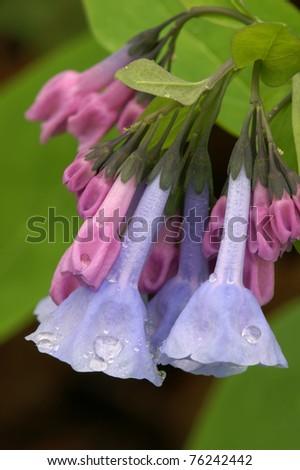 Virginia Bluebell Macro Vertical With Raindrops - stock photo