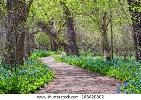 Virginia Bluebell Spring Wildflowers along the Potomac Heritage Trail - stock photo