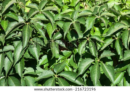 Virginia creeper grows thick on a brick wall. - stock photo