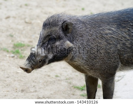 Visayan warty pig closeup profile showing fur detail and tusk