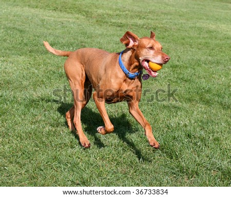 viszla dog running with ball in mouth