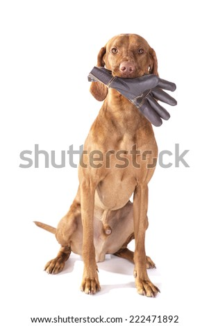 Viszla dog sitting with a yellow rose in his mouth on a white background - stock photo