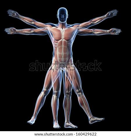vitruvian man - muscle system - stock photo