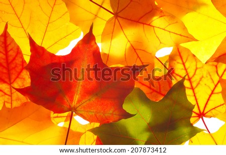 vivid autumn colorful transparent  maple leaves as background  - stock photo