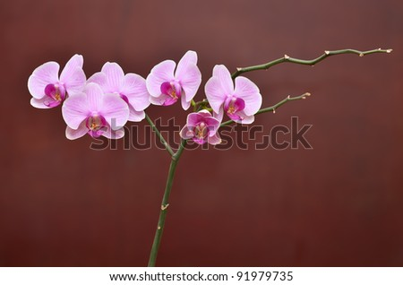 Vivid branch of orchid flowers on brown - stock photo