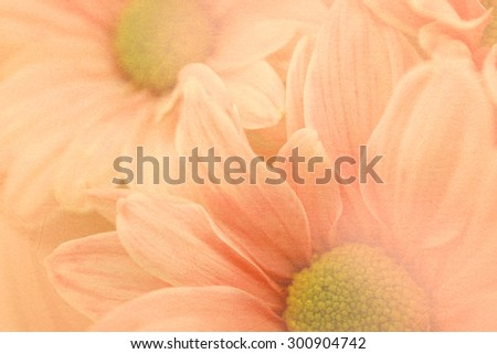 vivid color Chrysanthemums petals on mulberry paper texture - stock photo