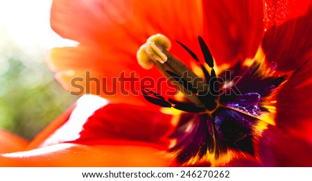 Vivid full color big red spring tulip flower filling the whole picture close up macro image - stock photo