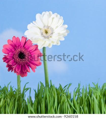 vivid gerbera daisies - stock photo
