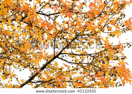 vivid liquidambar autumn tree isolated on white background