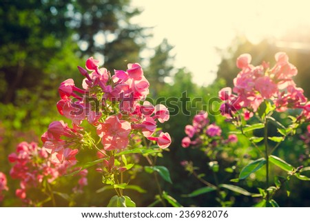 Vivid pink flowers at garden - stock photo