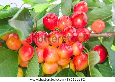 Vivid rainier white cherry berry closeup on tree branch - stock photo