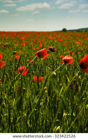 Vivid red poppy and wheat field - stock photo