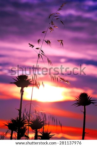 Vivid sunrise with milk thistle flowers backlit and oats, color effects - stock photo