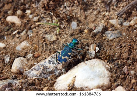Vivid tiger beetles