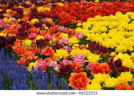 Vivid tulip fields in Holland in the spring - stock photo