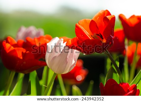Vivid tulip flowers with water drops in the morning sunshine. - stock photo