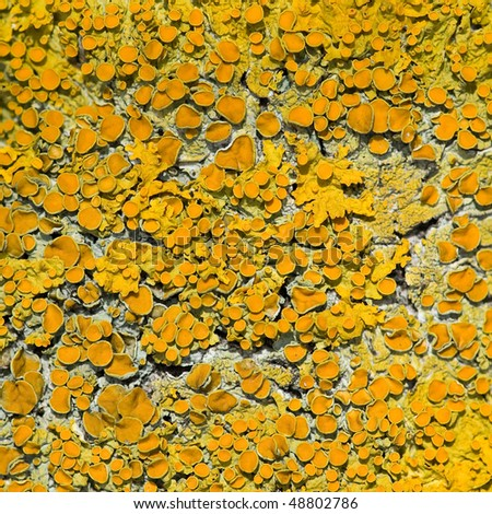 Vivid yellow lichen - stock photo