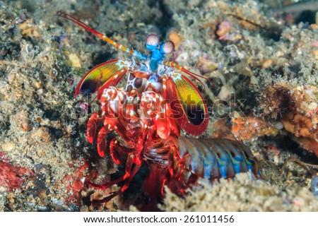 Vividly colored Peacock Mantis Shrimp in a rock hole - stock photo