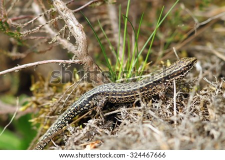 viviparous lizard camouflaged in its habitat ( Zootoca vivipara )