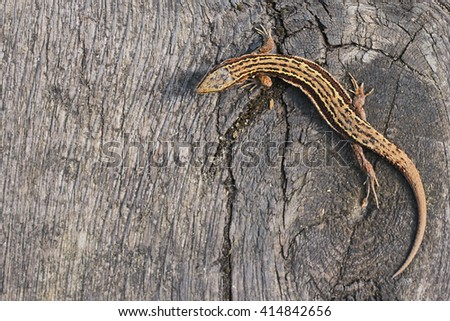 Viviparous lizard or common lizard, Zootoca vivipara - stock photo