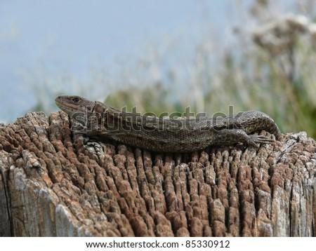 Viviparous lizard (Zootoca vivipara) sunbathing - stock photo