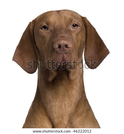 Vizla Dog, 17 months old, sitting in front of white background - stock photo