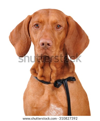 Vizsla dog portrait looks at  the camera, isolated on white background