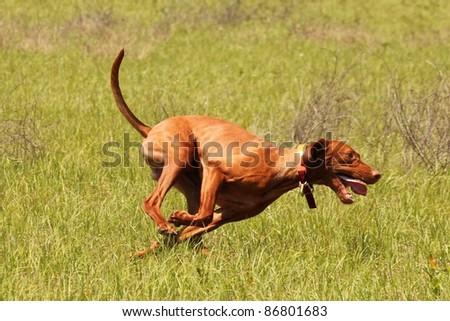 Vizsla Dog Running Photograph - stock photo