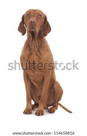 vizsla dog sitting on white background - stock photo